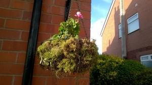 pink geranium basket
